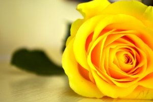 Oban Inn - Yellow Rose