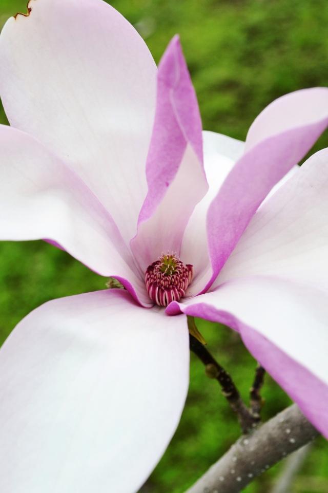 RBG Arboretum - Magnolia
